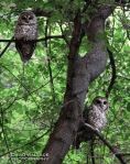 Two owls in the canyon. (I believe they are spotted owls.)