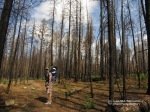 With Wyatt on his back, David hikes through a burned area of dense Ponderosa Pine in the White Mountains near the West Fork of the Black River in July 2012.