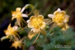 Golden Columbine in Deer Creek Canyon.