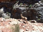 A bighorn sheep runs right past us on the rim of the Redwall.