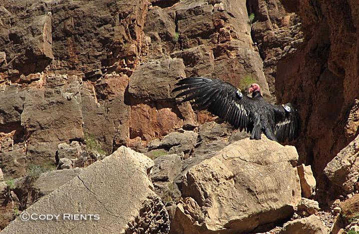 California Condor A9 in Olo.