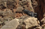 A California Condor spreads its wings in Olo Canyon in the Grand Canyon National Park