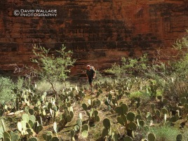 Chris negotiates a prickly pear forest in Kanab Creek.